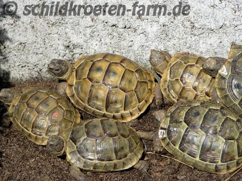 Maurische Landschildkröten (Testudo graeca) beim Sonnenbaden im Frühbeet. (C) Dominik Müller