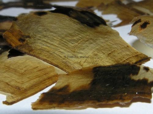 Hornschilde einer adulten Griechischen Landschildkröte (Testudo hermanni boettgeri). (C) Dominik Müller