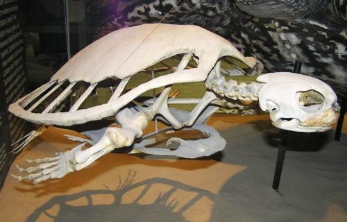 Skelett einer Suppenschildkröte (Chelonia mydas). (C) Dominik Müller