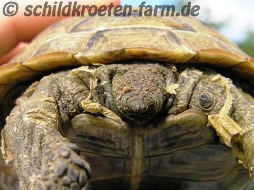 """""""Fetzenweise"""" Häutung einer Maurischen Landschildkröte (Testudo graeca). (C) Dominik Müller"""
