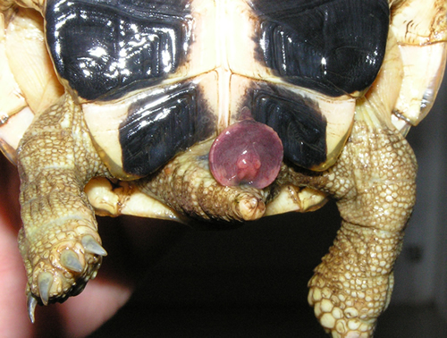 Ausgestülpter Penis einer semiadulten Italienischen Landschildkröte (Testudo hermanni hermanni). (C) Dominik Müller