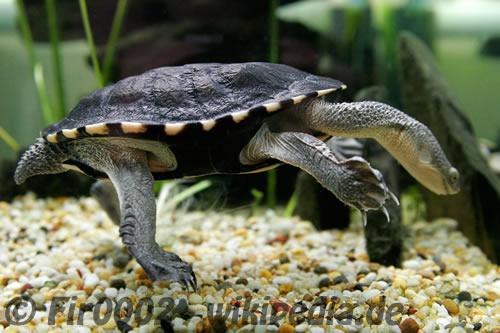 Aufnahme einer Chelodina longicollis (Schlangenhalsschildkröte)