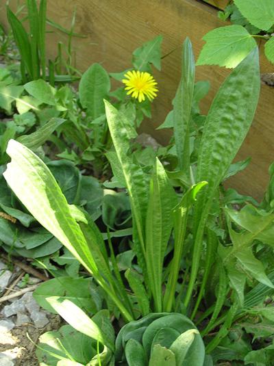 Spitzwegerich (Plantago lanceolata), Foto: Dominik Müller