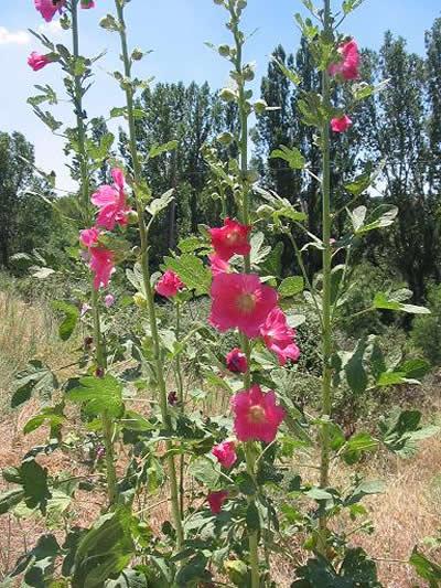 Stockrose (Alcea rosea), Foto: wikipedia.de