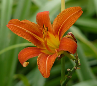 Taglilie (Hemerocallis sp.), Foto: wikipedia.de