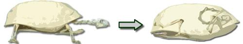 Darstellung der Scharnierfunktion bei einer Dosenschildkröte. (C) Dominik Müller