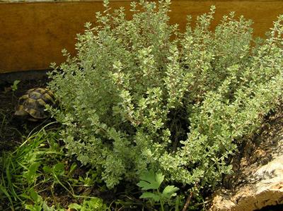 Thymian (Thymus sp.), Foto: Dominik Müller