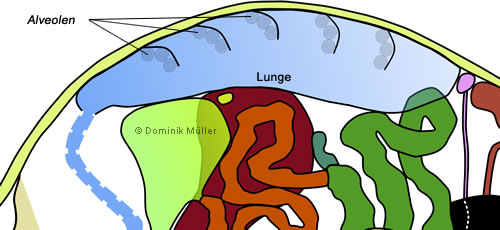 Topografischer Querschnitt einer Schildkröte - Darstellung der hinteren Atemwege. (C) Dominik Müller