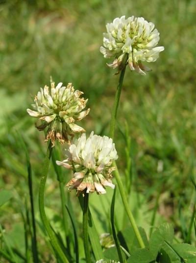 Weißklee (Trifolium repens), Foto: Dominik Müller