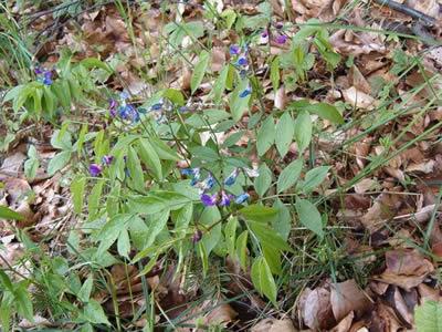 Wicke (Vicia sp.), Foto: wikipedia.de