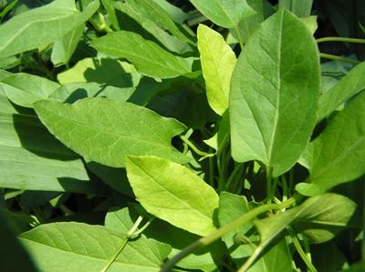 Winde (Convolvulaceae sp.), Foto: Dominik Müller