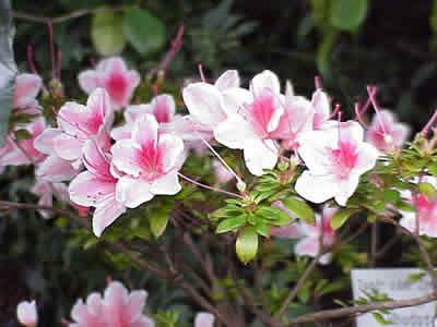 Azaleen (Rhododendron sp.). Foto: wikipedia.de