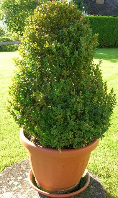 Buchsbaum (Buxus sempervirens). Foto: wikipedia.de