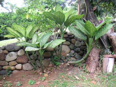 Dieffenbachia (Dieffenbachia). Foto: wikipedia.de
