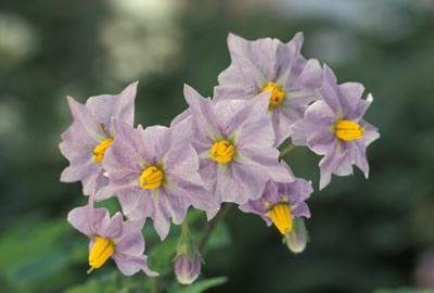 Kartoffel (Solanum tuberosum). Foto: wikipedia.de